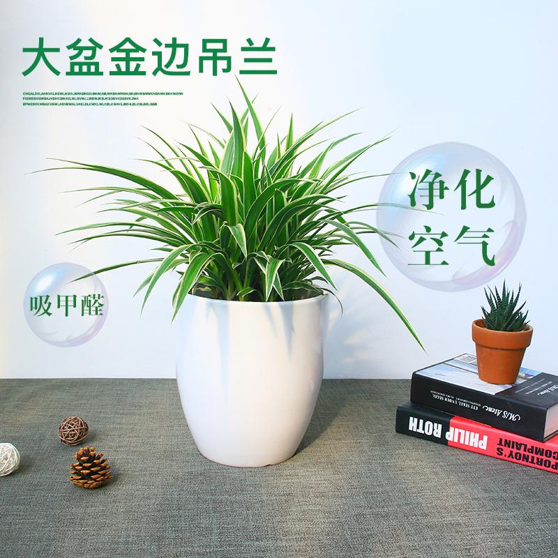 顺米大金边吊兰青叶室内盆栽吸甲醛净化空气绿植花卉办公室绿化