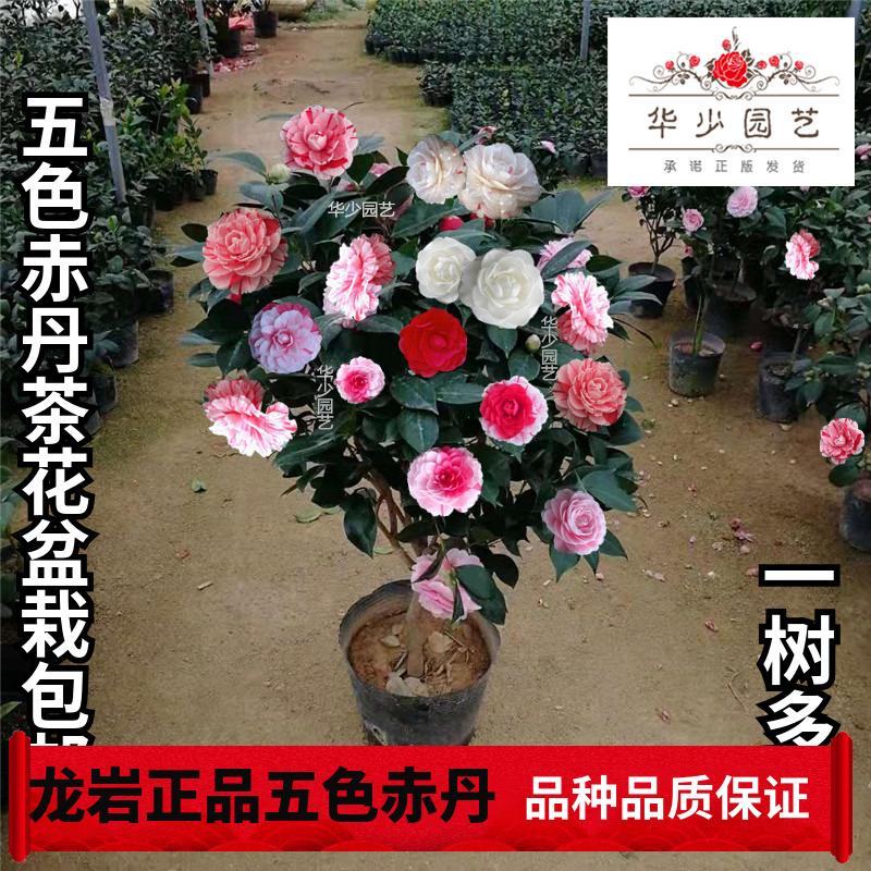 龙岩五色赤丹茶花带花苞一树多色四季永福建大小树苗开花耐寒盆栽