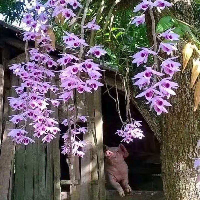 客厅铁皮石斛苗盆栽霍山米斛吊兰花卉室内家居绿萝水培植物
