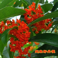 Genuine osmanthus Seedlings Grafted with blood osmanthus, gold osmanthus, cinnabar, Dangui garden, potted plants, blooming in the same year