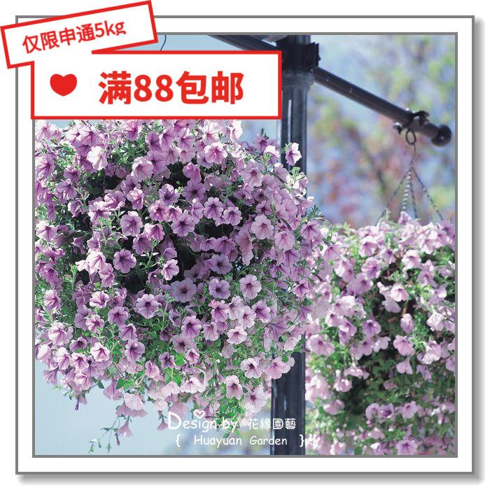 花缘咸菜 进口花种子*日本TAKII*垂吊矮牵牛*美声系列5粒丸化