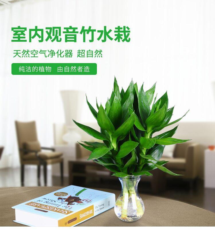观音竹水培植物富贵竹包邮水生养绿植室内花卉盆栽观叶客厅节节高