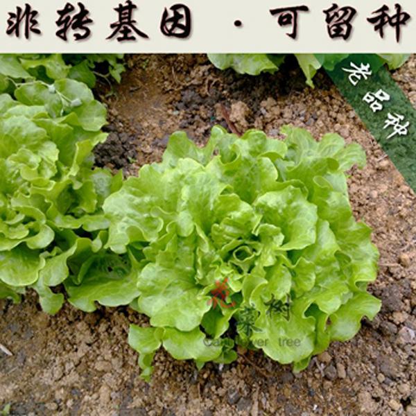 当季易种耐旱耐低温耐高温生长快蔬菜种子生菜苦菊小葱香菜韭菜籽