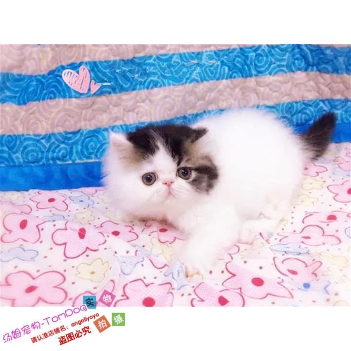 Garfield pet cat live pure short haired kitten cub red white black sanhuajing Sanskrit powder claw y