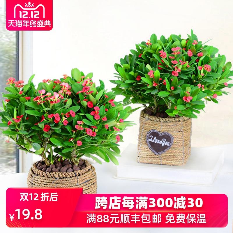 海棠花盆栽花卉植物室内办公室花四季开花不断铁海棠虎刺梅带花苞