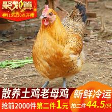 散养土鸡老母鸡 拍两件共4.4斤