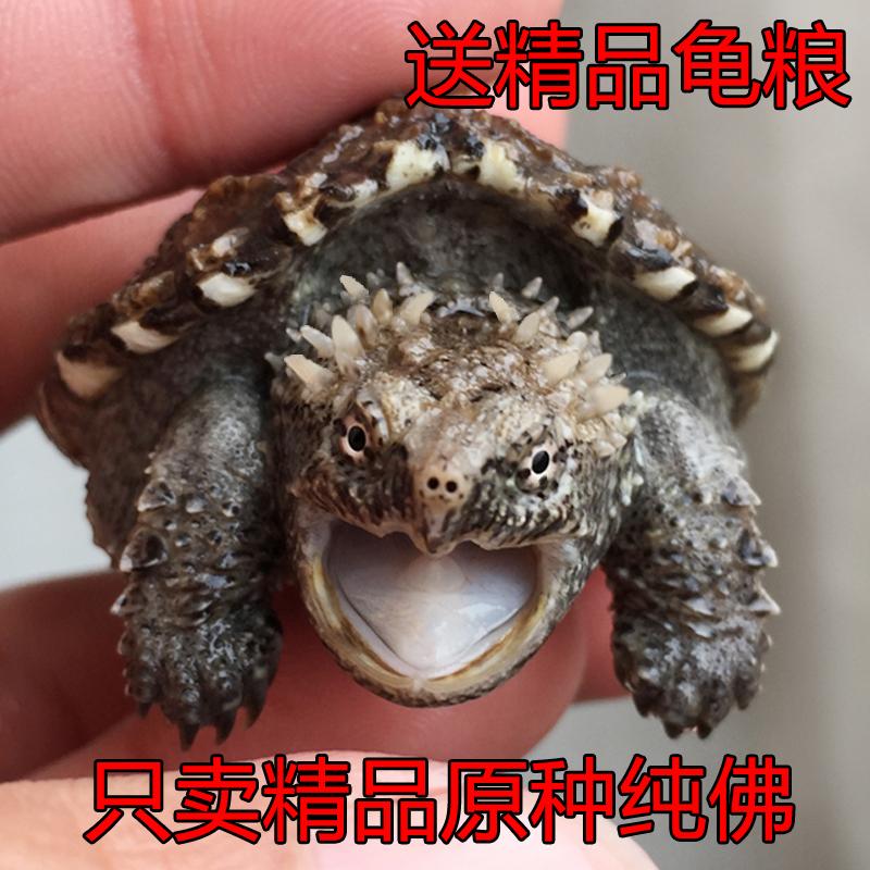 鳄龟纯佛爆刺王杂佛鳄鱼龟苗宠物小鳄佛罗里达乌龟活物北美小鳄龟图片