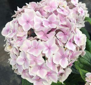 花都之韵 新品绣球花紫阳花日本重瓣绣球 旋律 庭院盆栽绿植花卉