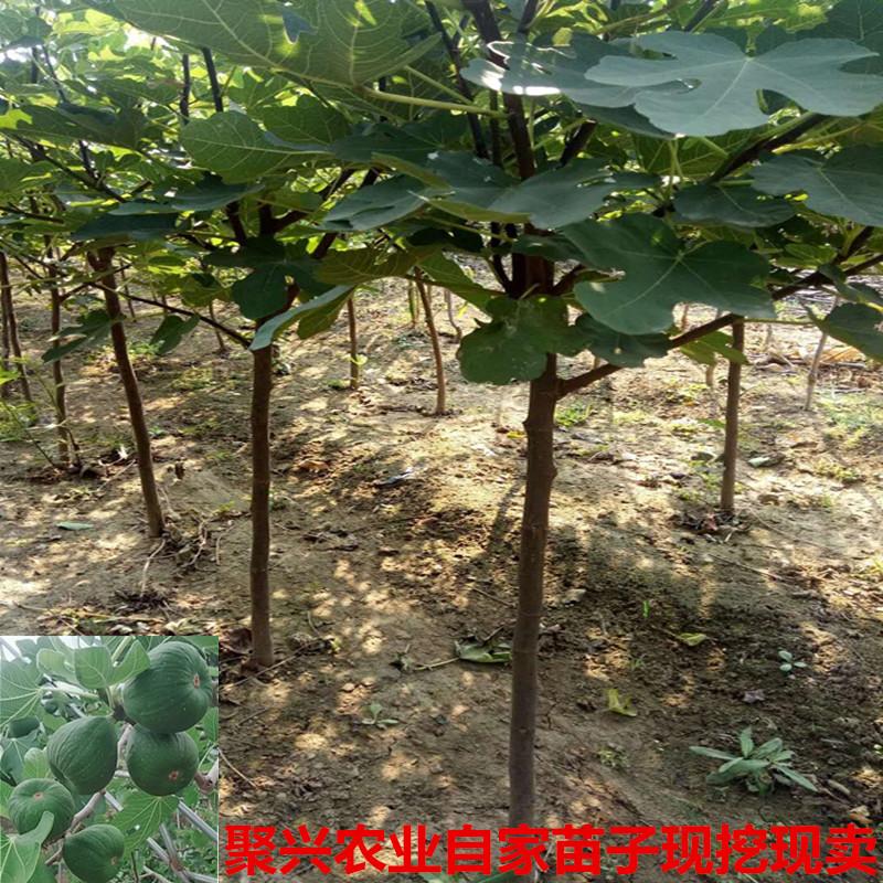 热销0件包邮无花果苗树室内四季盆栽带果新鲜苗