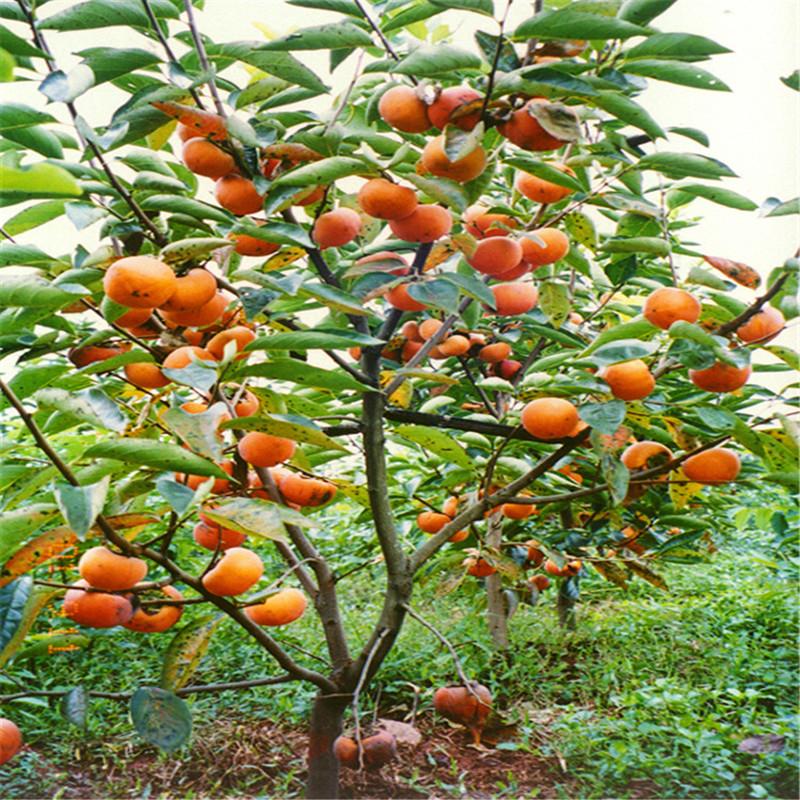 脆柿子树苗男方北方种植黑日本树苗