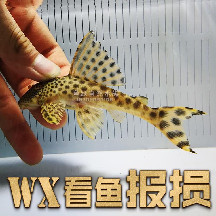 南美异型L075黄金美洲豹鱼清道夫淡水热带观赏鱼活体鱼宠物图片