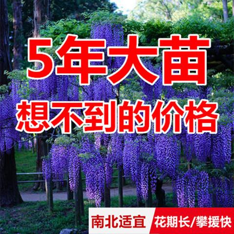 庭院攀援植物爬藤植物紫藤树苗盆栽紫藤5年苗紫腾萝凌霄花苗包邮