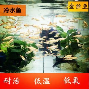 白云金丝冷水鱼生态瓶小鱼金丝鱼活体原生缸不加温淡水宠物活体