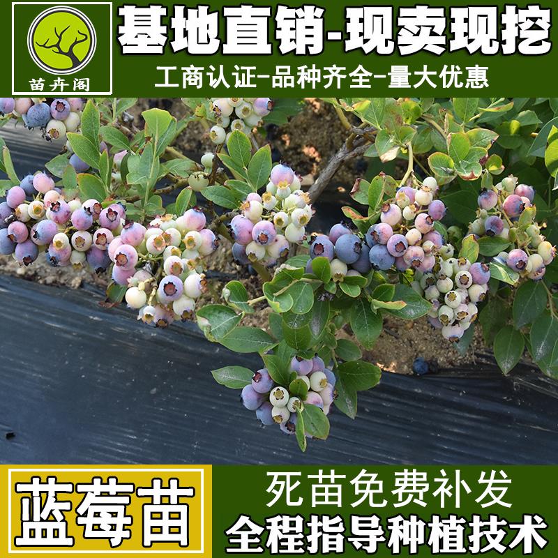 蓝莓树苗盆栽地栽南方北方种植当年结果四季水果树特大蓝莓树果苗