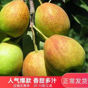 红香酥梨带箱10斤批当季水果梨子新鲜 脆梨雪梨酥梨带箱5斤应季水