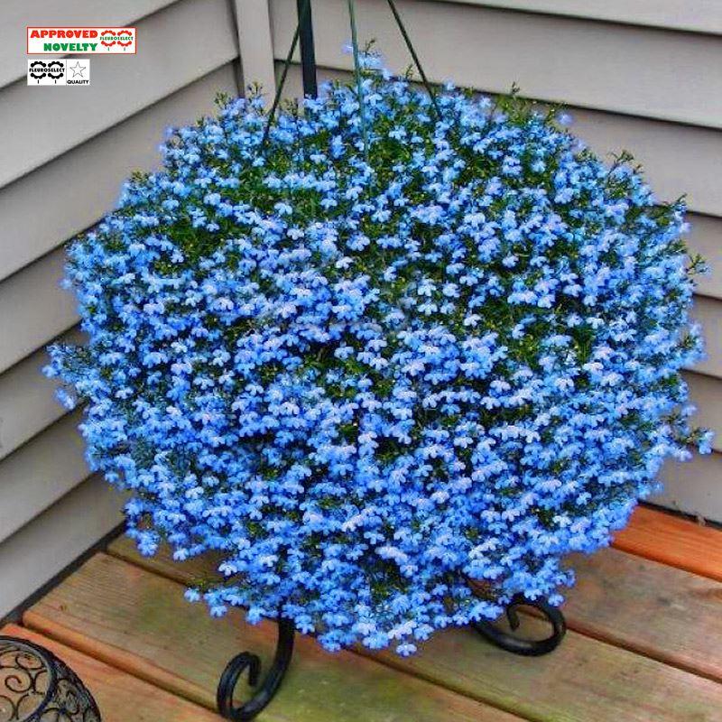 *泛美*进口六倍利半边莲满天星翠蝶花种子四季种室内易活