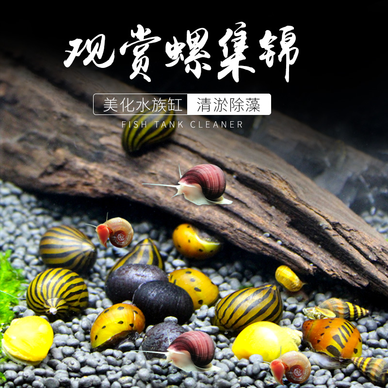 神秘螺观赏螺活体除藻螺工具螺苹果螺紫纹螺斑马螺蜗牛宠物螺套餐