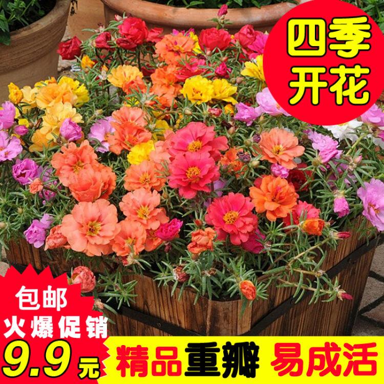 重瓣太阳花种子四季易种半枝莲松叶牡丹开花不断室内阳台花卉盆栽