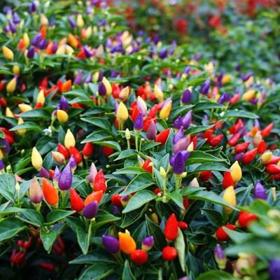 食用の五色の唐辛子の野菜の種のパプリカのサンショウのベランダの室内の植物の四季の鉢植えの果物と野菜の種