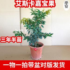 艾斯卡四季猩红红钻嘉宝树嘉宝果树