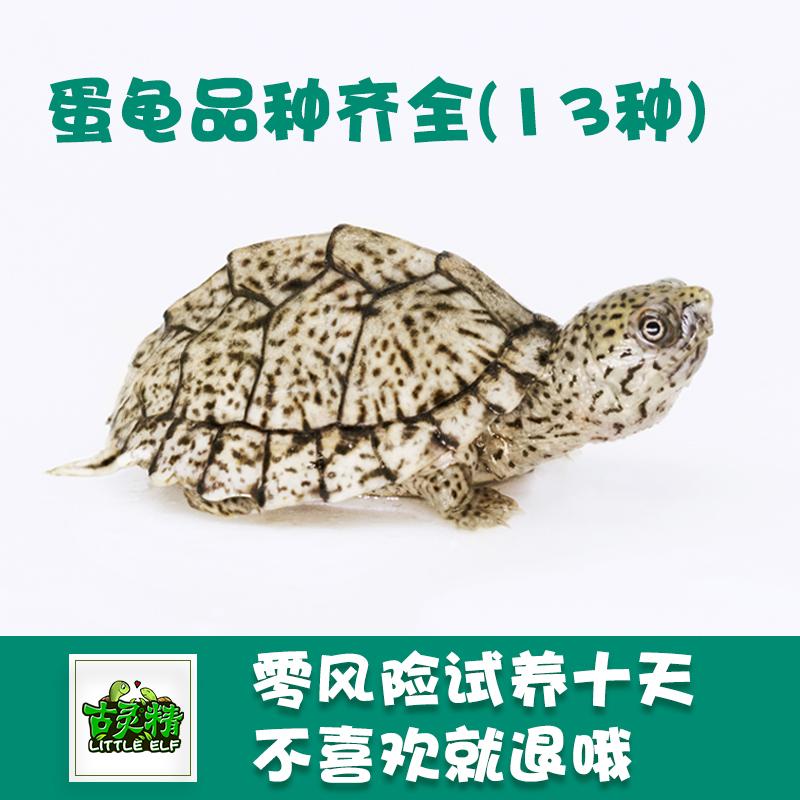 蛋龟全种类 剃刀龟粮虎纹麝香巨头红面长颈活体观赏深水龟吃粪龟图片