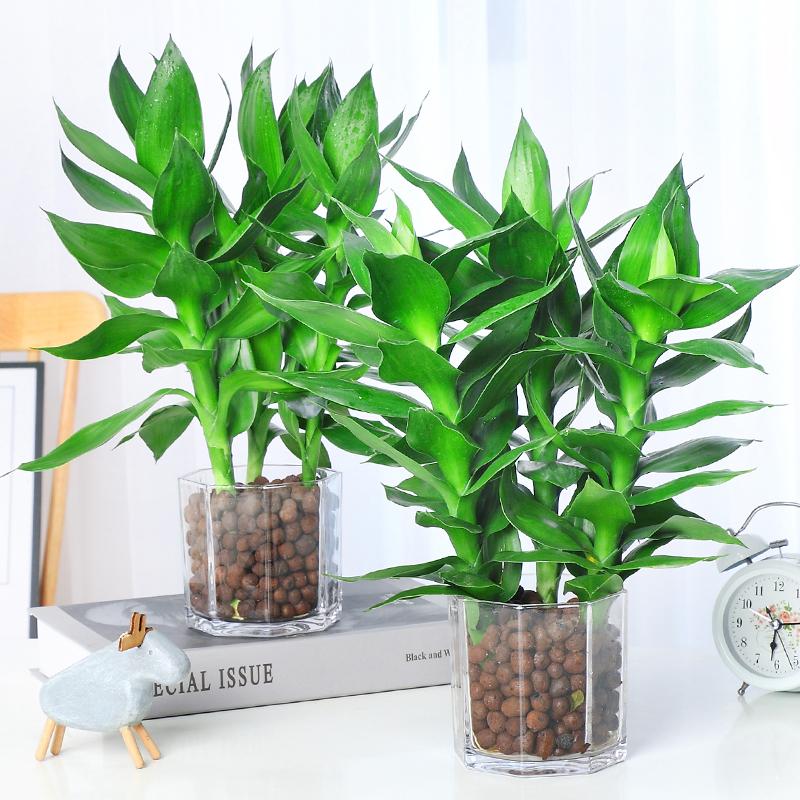 水養觀音竹富貴竹水培套裝植物盆栽室內辦公室客廳綠植帶花盆花瓶