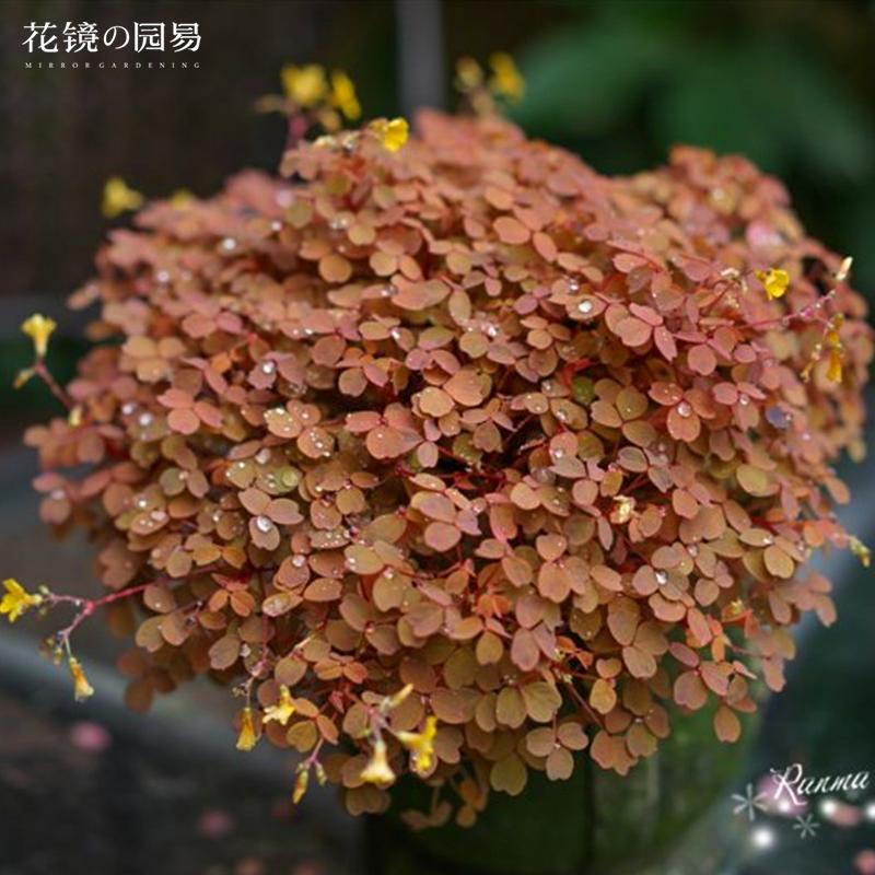 【72穴苗】熔?#38452;?#27974;草小红枫小黑枫三叶草 阳台盆栽观叶植物