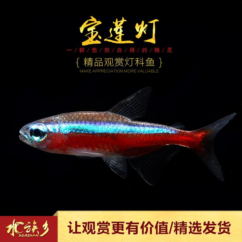 [水族乡]宝莲灯 淡水草缸热带小型观赏群游宠物新日光红莲灯科鱼