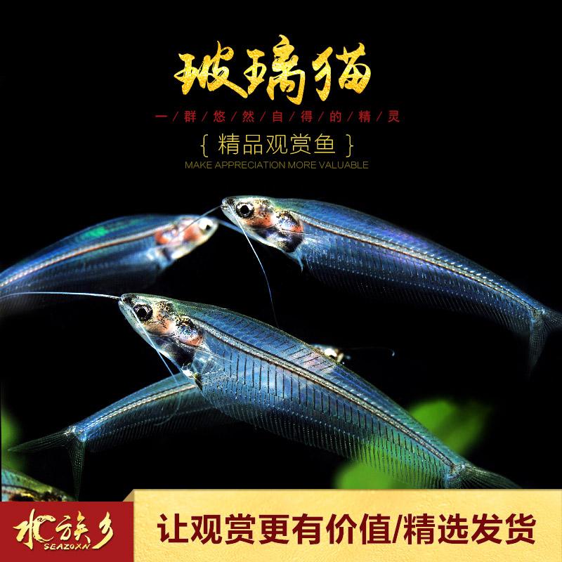 玻璃猫热带淡水草缸箱观赏活体宠物蓝三线透明幽灵猫鱼群游小型鱼