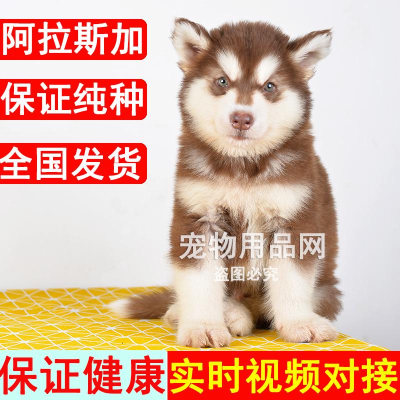 阿拉斯加雪橇犬纯种幼犬活体狗狗十字架红色灰色大型犬蓝眼