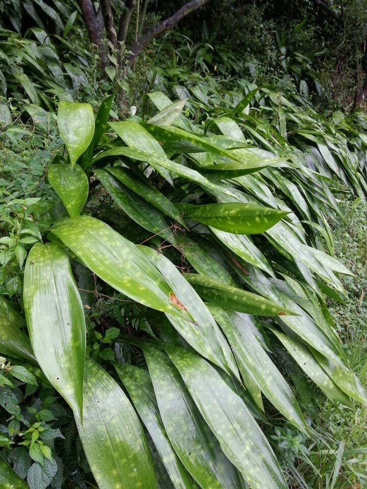 峨眉山新鲜粽叶非竹叶芦苇叶盆栽植物绿色粽子叶100张