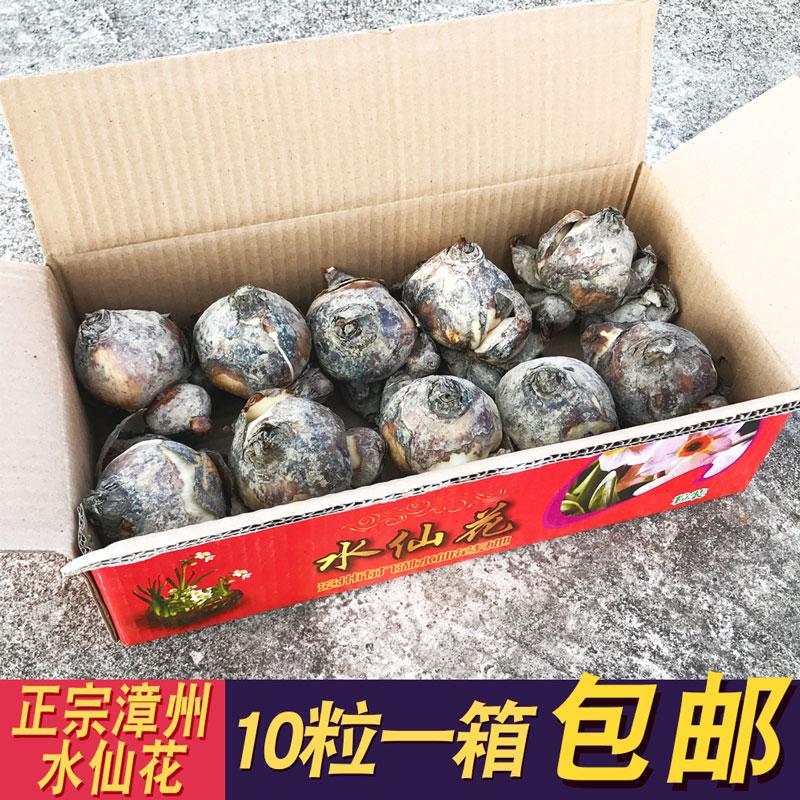 漳州水仙花种球水培室内植物盆栽种子花卉绿植冬季年宵花批发包邮