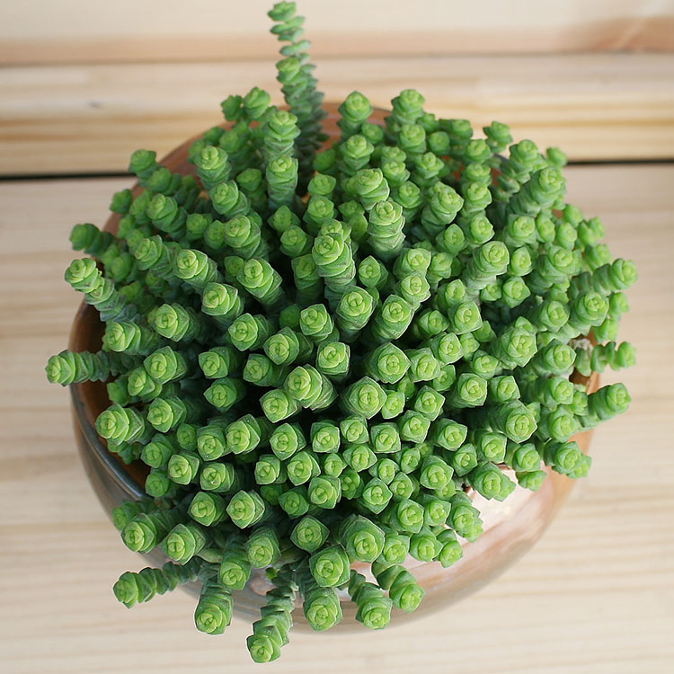 New green potted QianChuan succulent plant qianchuanzi succulent and succulent group old pile with basin and soil