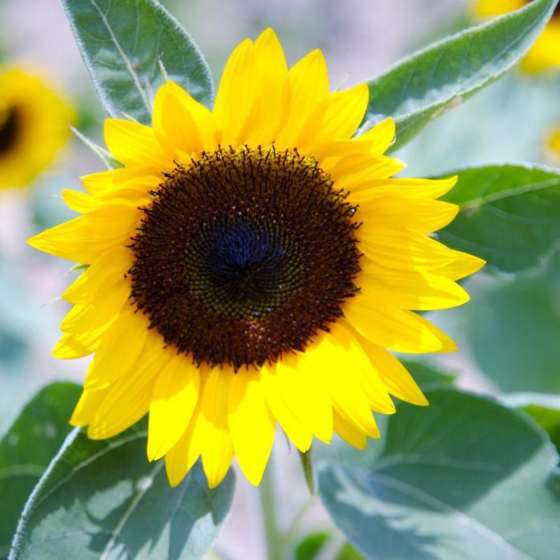 矮向日葵新款夏季�N子 花草 四季可播易�N盆栽花卉花籽 一袋20粒