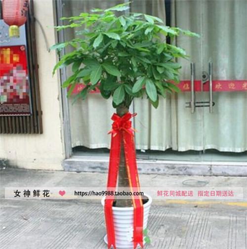 乌鲁木齐鲜花同城送花发财树盆栽绿植开业乔迁搬家送礼同城速递