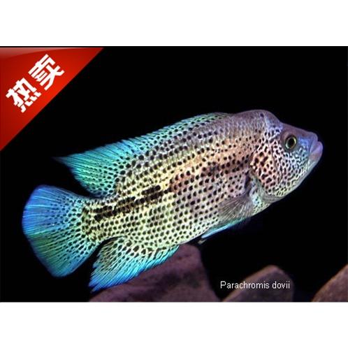 观赏鱼道氏火口鱼活体热带淡水鱼美鲷纯种宠物鱼可混养凶猛鱼包损