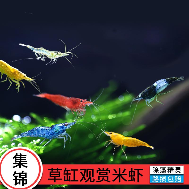 虾活体观赏虾除藻工具巧克力烤漆