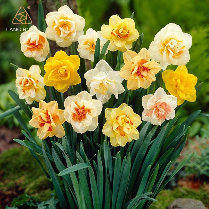 Цветочные луковицы Артикул 619238665494