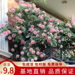天狼月季蔷薇花苗藤本月季龙沙宝石爬藤四季种植盆栽植物玫瑰花卉