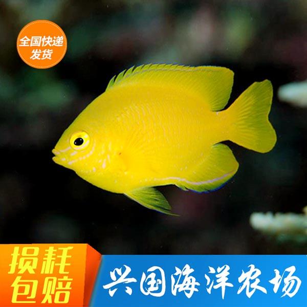 黄魔 柠檬雀黄么海水鱼活体宠物观赏鱼小型雀雕小丑鱼快递包活