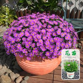 夏夏小姐的花园*姬小菊盆栽花苗 四季开花期长 室内阳台 花园植物图片