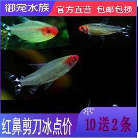 红鼻剪刀鱼 白金红鼻剪刀 红鼻子 群游鱼 草缸热带鱼灯鱼2-3cm图片