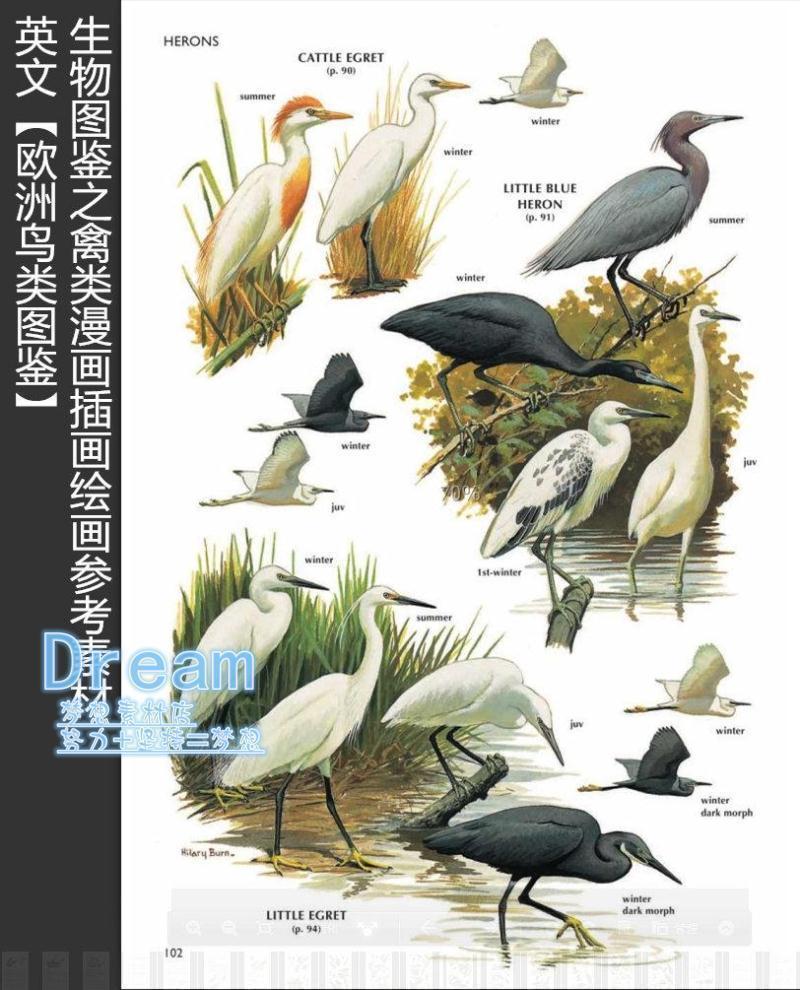 英文【欧洲鸟类图鉴】生物图鉴之禽类漫画插画绘画参考素材
