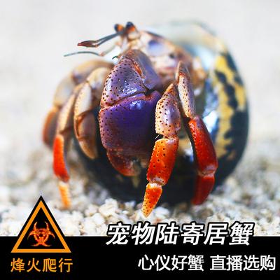 直播选蟹【宠物陆寄居蟹】草莓灰白短腕深紫凹足Lila淡紫西伯利斯