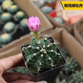 粉花绯牡丹实生仙人球稀有粉花开花仙人掌多肉植物桌面防辐射盆栽