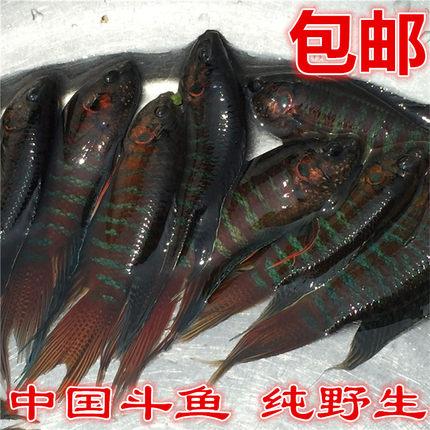 中国斗鱼活体野生淡水观赏鱼菩萨鱼花手巾包邮耐养的鱼耐活冷水鱼