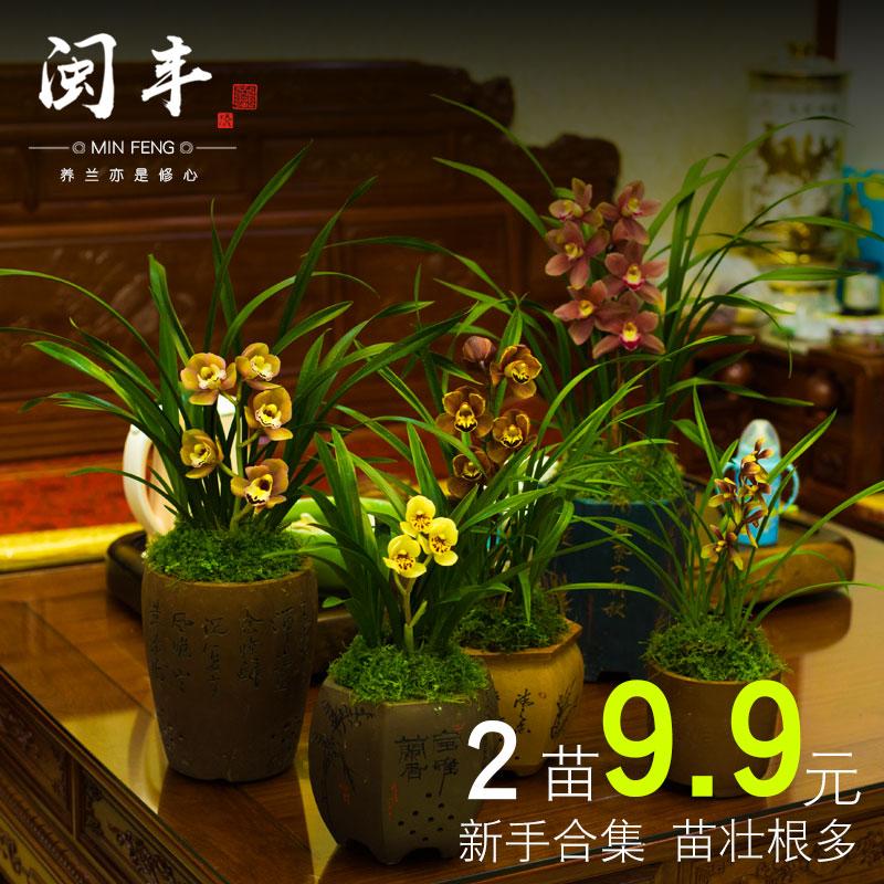 兰花盆栽植物名贵花苗浓香带花苞兰花苗四季兰草花卉迷你文心兰