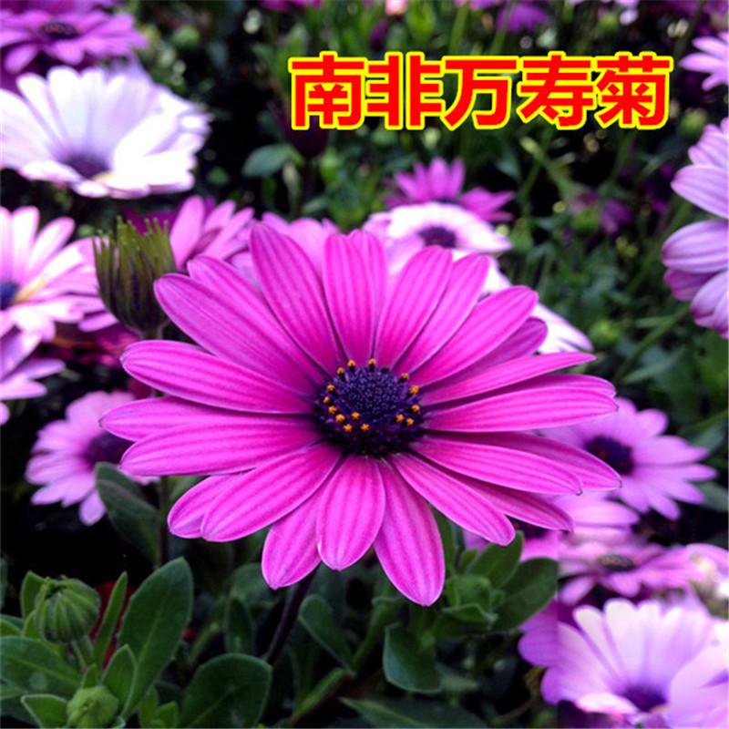 花卉种子 花仙子彩包种子 南非万寿菊约15粒