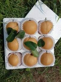 原产地山东秋月梨黄皮梨子5斤6-8个泡沫箱脆甜多汁新鲜梨子H#