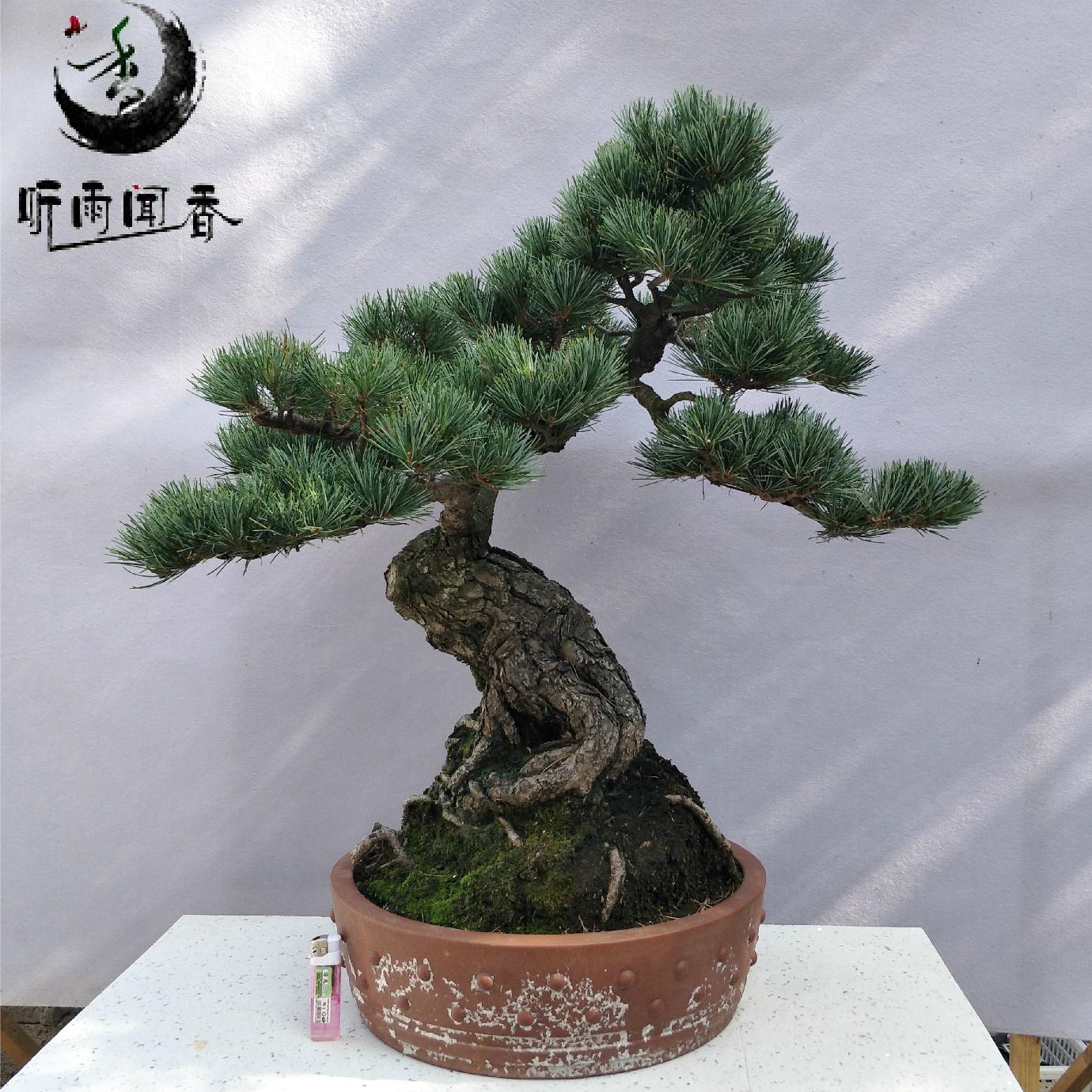五针松盆景 日本矮姬大阪松树桩盆栽 树苗  室内庭院高档植物